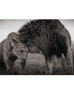 Lions Head to Head by Nick Brandt, Black and White Photographs from Masai Mara